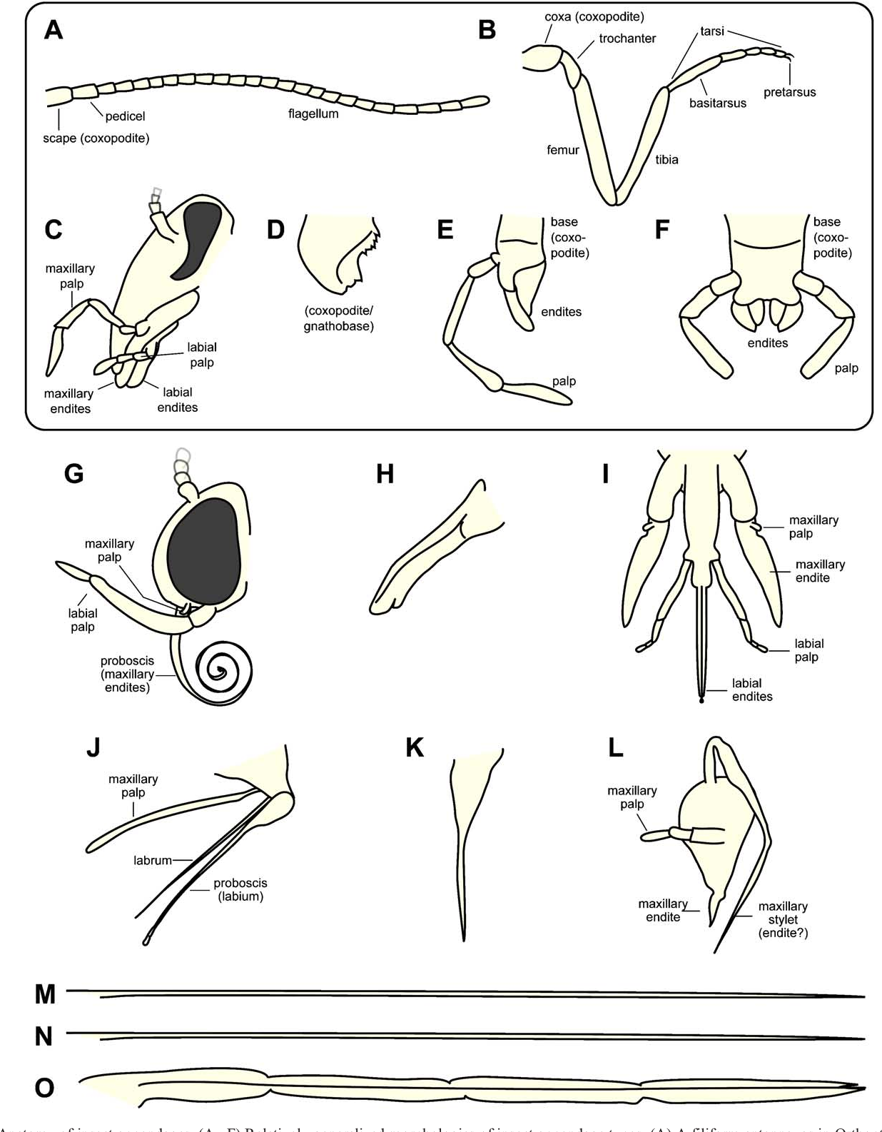 Figure 1 from Insect appendages and comparative ontogenetics