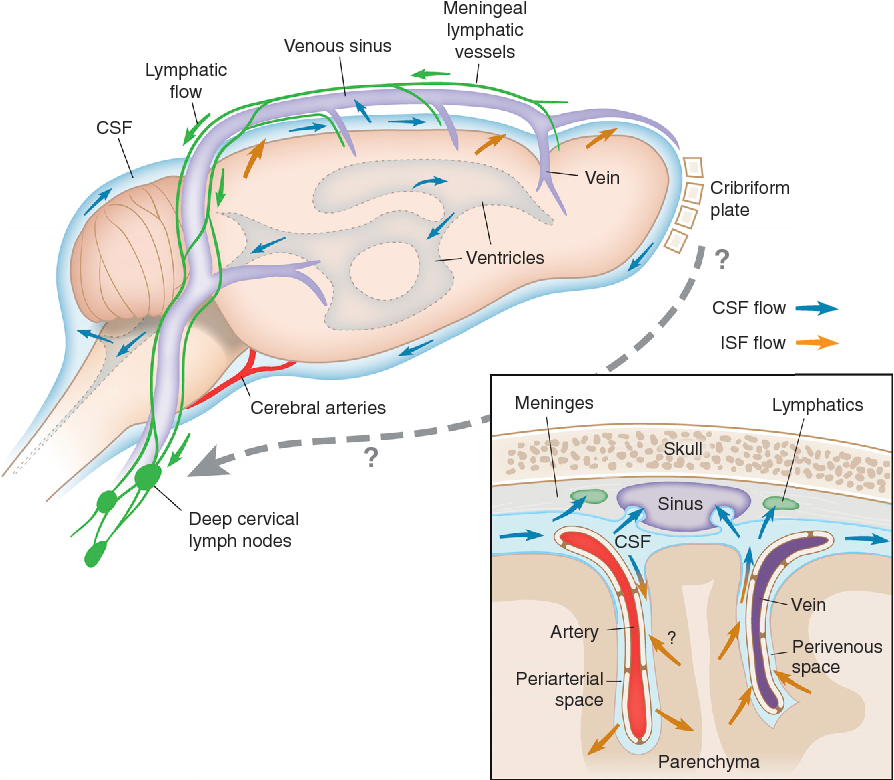 Figure 2 from Lymphatics in Neurological Disorders: A Neuro