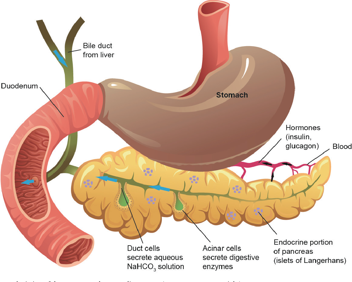where is the human duodenum - 890×673