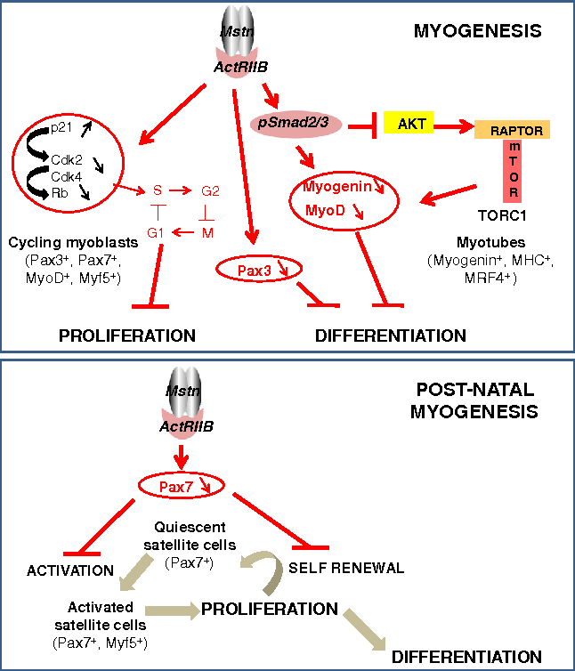 Myostatin and the skeletal muscle atrophy and hypertrophy ...