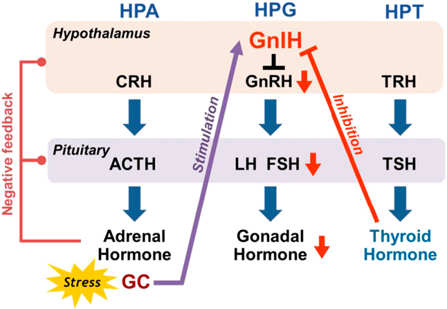 Figure 1. Interactions among the hypothalamo-pituitary-adrenal (HPA), HPT, and HPG axes by glucocorticoid (GC), TH, and GnIH. Interaction between the HPA axis and the HPG axis mediated by GC and GnIH has been demonstrated (40, 41). Stress increases the expression of GnIH, and GC increases GnIH expression in birds and mammals. GnIH neurons express GR. Thus, stress reduces gonadotropin secretion through the increase in GnIH expression in mammals and birds. In contrast, although the interaction between the HPT axis and HPG axis has been suggested (11–13), the mechanisms of TH action on pubertal onset are still unclear in mammals. Our recent study (42) indicated that TH-mediated HPG regulation may be initiated by changes in the expression of GnIH, which acts at the most upstream level of the HPG axis by inhibiting the activity of GnRH neurons to reduce circulating levels of gonadotropins (LH and FSH) and gonadal sex steroids. Importantly, high concentrations of TH decrease GnIH expression, whereas a lower level of TH increases GnIH expression. Further, the increased GnIH expression induced by hypothyroidism may delay pubertal onset (42). See text for details. ACTH, adrenocorticotropic hormone; CRH, corticotropin-releasing hormone; TRH, thyrotropin-releasing hormone.