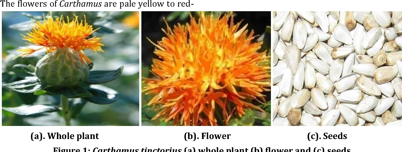 Detailed Study On Therapeutic Properties Uses And Pharmacological Applications Of Safflower Carthamus Tinctorius L Semantic Scholar