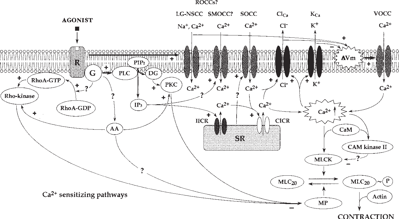 Vascular Smooth Muscle: Metabolic, Ionic, and Contractile Mechanisms