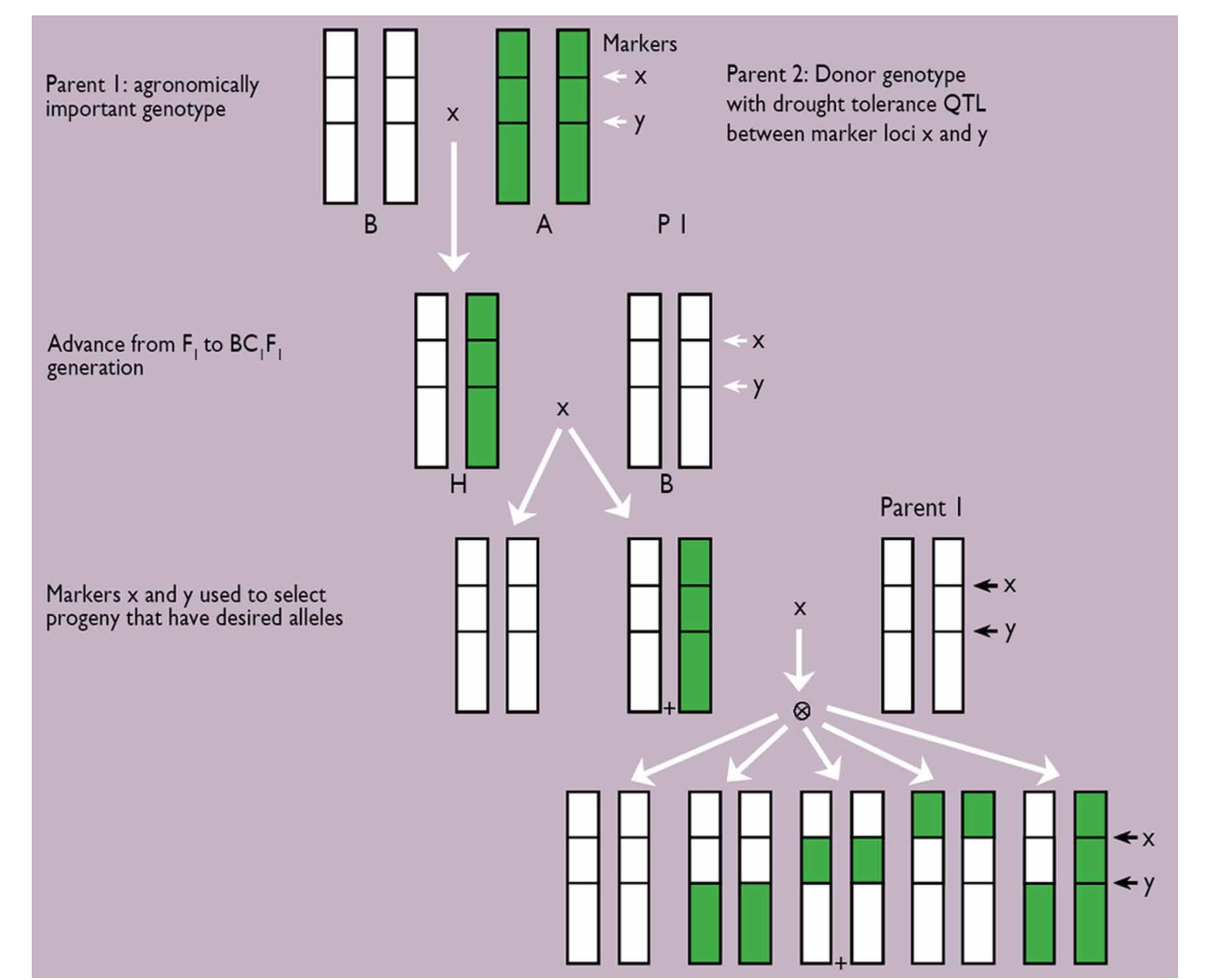 Figure 4 from II 1 5 Phenotyping pearl millet for adaptation