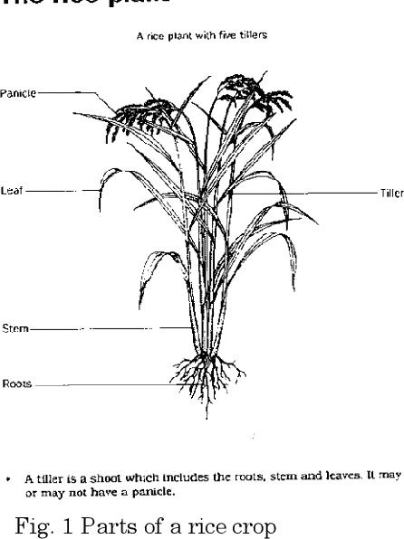 PDF] Height Measurement and Tiller Segmentation of Rice
