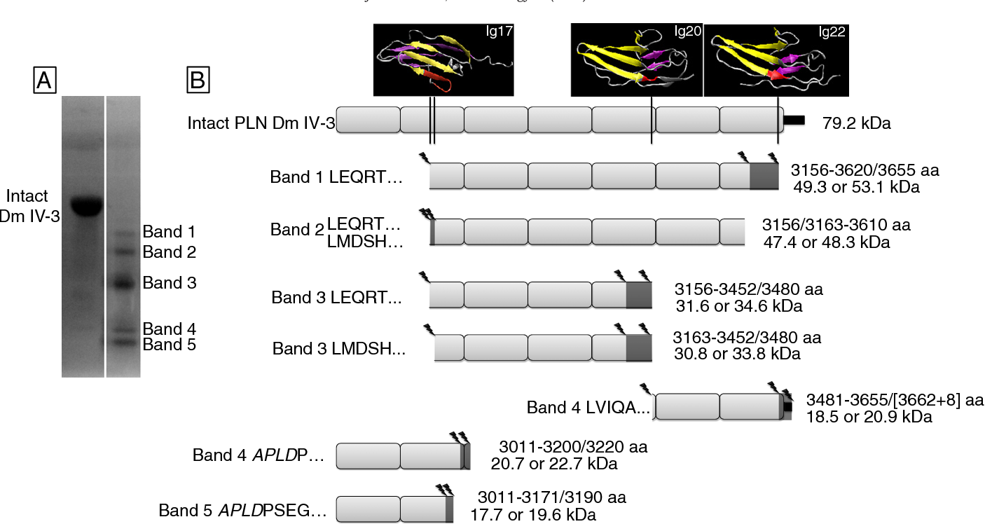Matrilysin/matrix metalloproteinase-7(MMP7) cleavage of perlecan/HSPG2  creates a molecular switch to alter prostate cancer cell behavior.    Semantic ScholarSemantic Scholar
