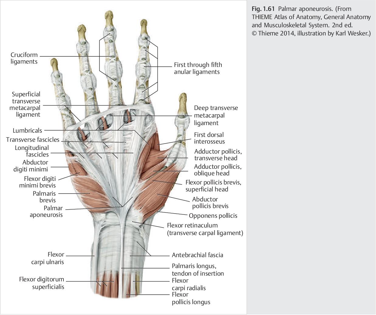 PDF] Hand and Wrist Anatomy and Biomechanics - Semantic Scholar