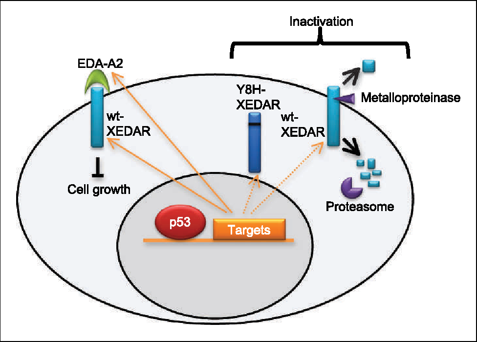Figure 5 From Crosstalk Of Eda A 2 Xedar In The P 53 Signaling Pathway Semantic Scholar