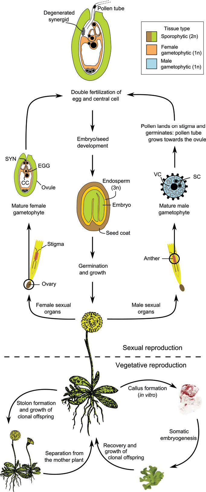 Figure 1 from Plant germline formation: common concepts and