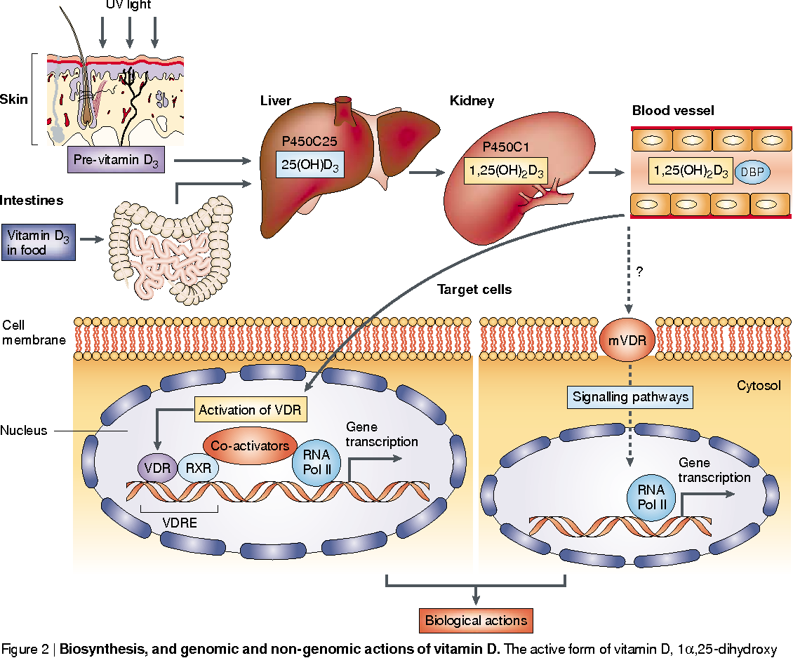Figure 2 From Chemoprevention Of Colon Cancer By Calcium Vitamin D And Folate Molecular Mechanisms Semantic Scholar