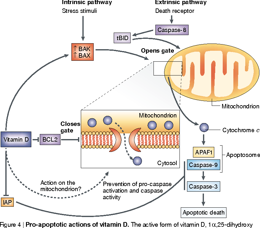 Figure 4 From Chemoprevention Of Colon Cancer By Calcium Vitamin D And Folate Molecular Mechanisms Semantic Scholar