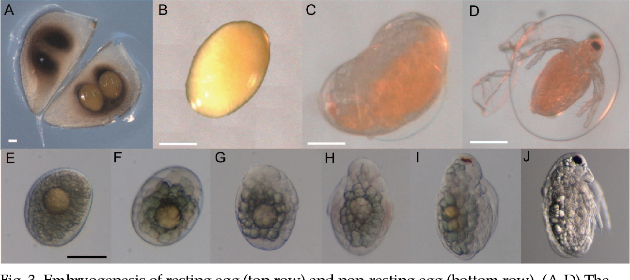 Fig. 3. Embryogenesis of resting egg (top row) and non-resting egg (bottom row). (A-D) The resting egg was produced by parthenogenesis. There was no difference in the manner of development between a parthenogenetic resting egg and a sexual resting egg. Scale bars = 100 m. (E-J) Embryonic development was completed in about 3 days at 18C. Scale bar = 100 m.
