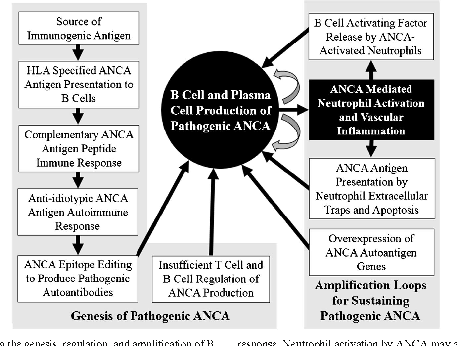 Figure 4 from B cell-mediated pathogenesis of ANCA-mediated