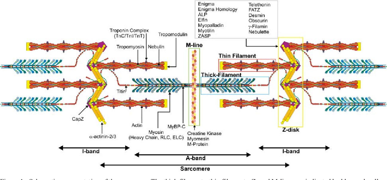 The Muscle Ultrastructure  A Structural Perspective Of The Sarcomere