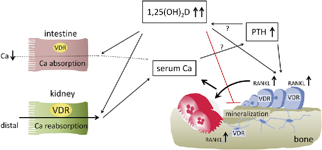 Figure 2 From Vitamin D Signaling In Calcium And Bone Homeostasis A Delicate Balance Semantic Scholar