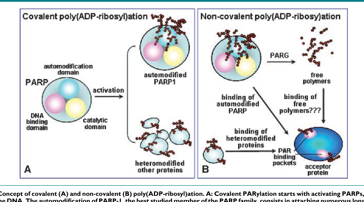 Figure 1 from CCCTC-binding factor meets poly(ADP-ribose