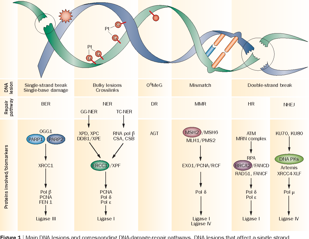 Figure 1 from The potential of exploiting DNA-repair defects
