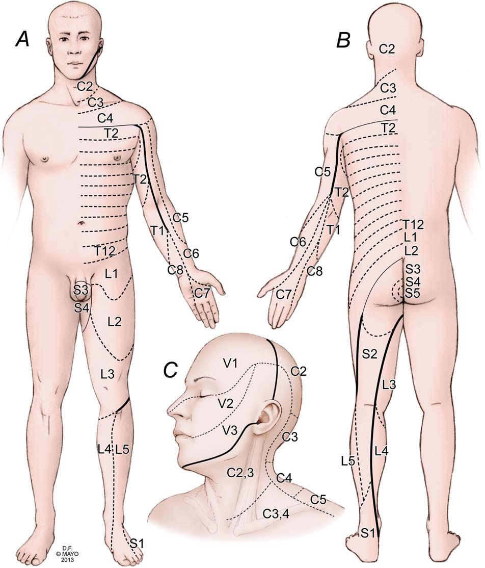 Figure 1 from Mapping sensory communications between ... on lumbar dermatomes map, cervical mass, cervical lateral flexion, cervical lumbar, myotome map, cervical myotomes charts, peripheral nerve field, cervical nerve map, two-point discrimination, cervical precautions, blood–brain barrier, cervical facet dermatomes, cervical rfa, brachial plexus, cervical flexors, cervical plexus, cervical disc herniation, cervical epidural injection, cervical and thoracic dermatomes, cervical radiculopathy, cervical dermatomes anatomical chart, cervical pain map, cervical nerve dermatomes, cervical facet anatomy, cervical paraspinal region, somatosensory system,