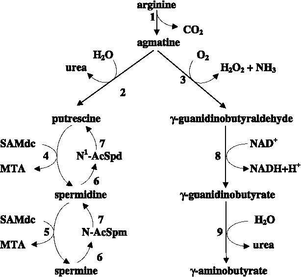 Metabolism and function in animal tissues of agmatine, a