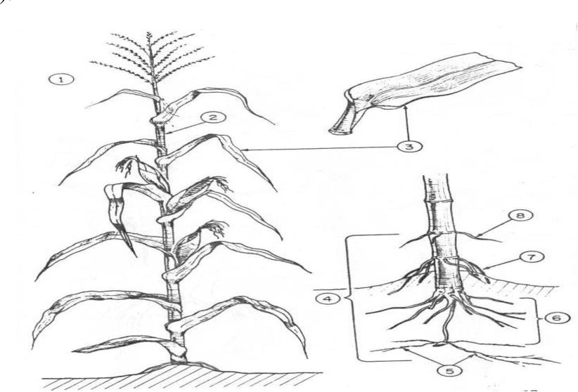Figure 1 From Primer Ciclo De Mejoramiento Genético De Maíz