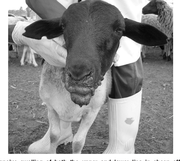 Figure 1 from Atypical dermatophilosis of sheep in Kenya