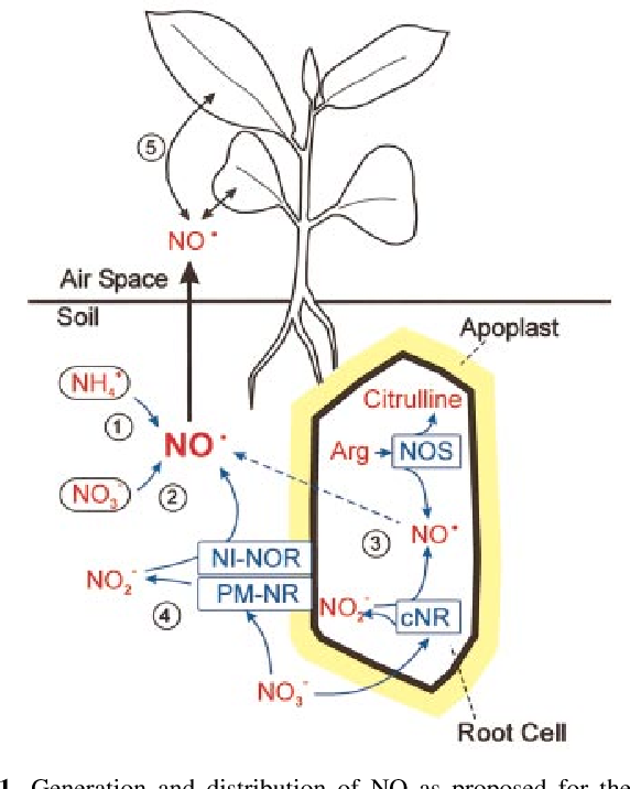 Fig. 1. Generation and distribution of NO as proposed for the roots and rhizosphere of higher plants. (1) Bacterial nitri®cation; (2) bacterial denitri®cation; (3) NO generation in root cells by cytosolic nitrate reductase (cNR) and/or NO synthase (NOS); (4) NO generation in the root apoplast from nitrate by plasma membrane-bound nitrate reductase (PM-NR) and nitrite:NO reductase (NI-NOR); (5) exchange of NO (probably mainly release from the soil) between the atmosphere and aerial plant organs.