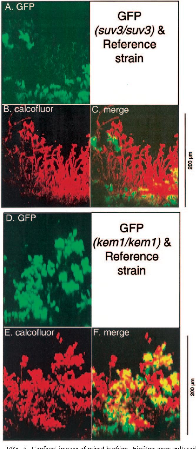 Figure 5 from Candida albicans biofilm-defective mutants