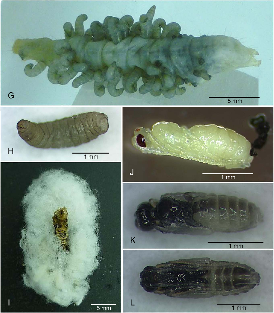 Figure 4 from First report of Cotesia vanessae (Hymenoptera