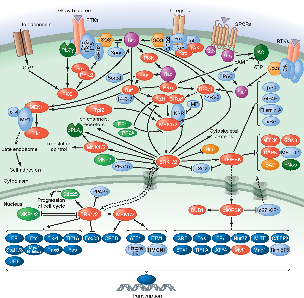 Figure 2 from MAP kinase pathways. - Semantic Scholar on jak-stat signaling pathway, mapk/erk pathway, cyclic adenosine monophosphate, tgf beta signaling pathway, signal transduction, protein kinase, notch signaling pathway, receptor tyrosine kinase, wnt signaling pathway, cyclin-dependent kinase, pi3k/akt/mtor pathway, protein kinase c, adenylate cyclase, c-jun n-terminal kinases,