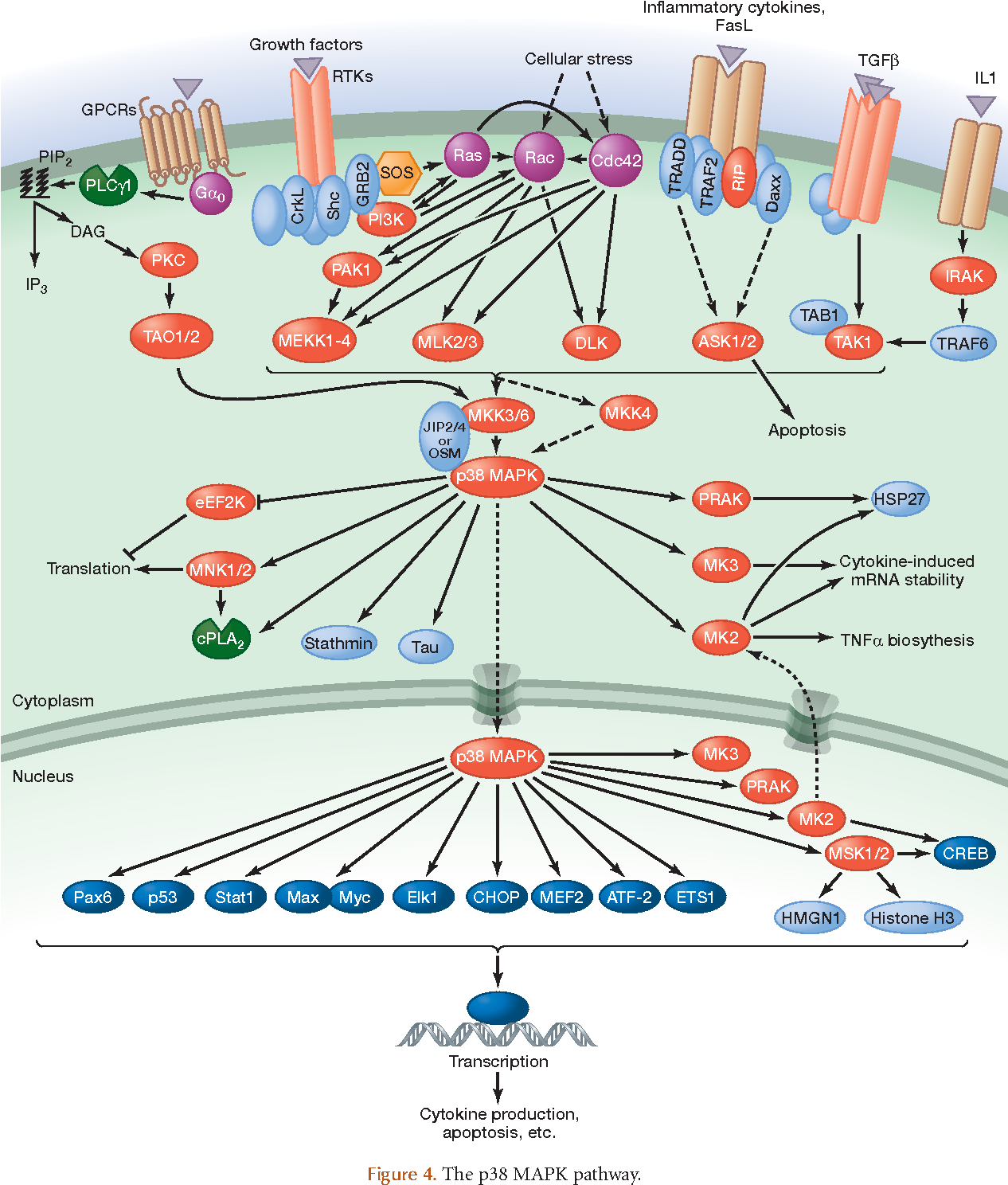 Figure 4 from MAP kinase pathways. - Semantic Scholar on insulin pathway, cyclin-dependent kinase, il-6 signaling pathway, thyroid pathway, jak-stat signaling pathway, cell signaling, adenylate cyclase pathway, pi3k/akt/mtor pathway, phosphatidylinositol 3-kinase pathway, receptor tyrosine kinase, wnt signaling pathway, jak 1 2 3 signaling pathway, pi 3-kinase pathway, protein kinase c, mitogen-activated protein kinase, signal transduction, tyrosine kinase, tgf beta signaling pathway,