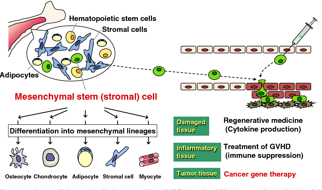 Mesenchymal Stem Cells in Cancer Therapy
