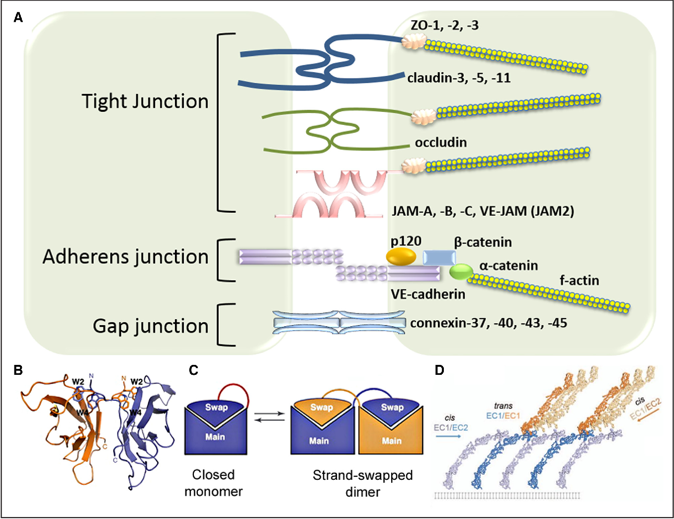 Figure 1 from Protein Interactions at Endothelial Junctions