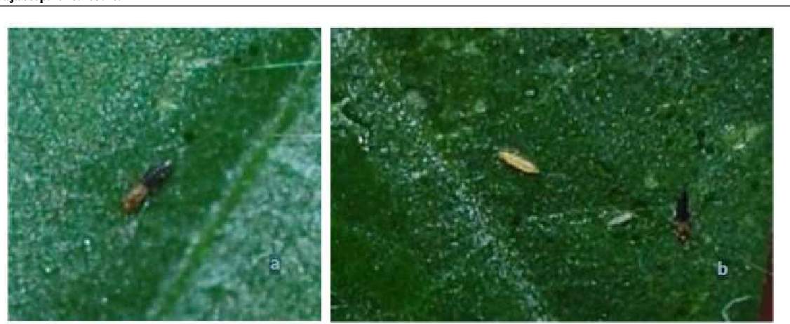 Figure 6 from Phenomenon of Thrips (Thysanoptera) Attack on