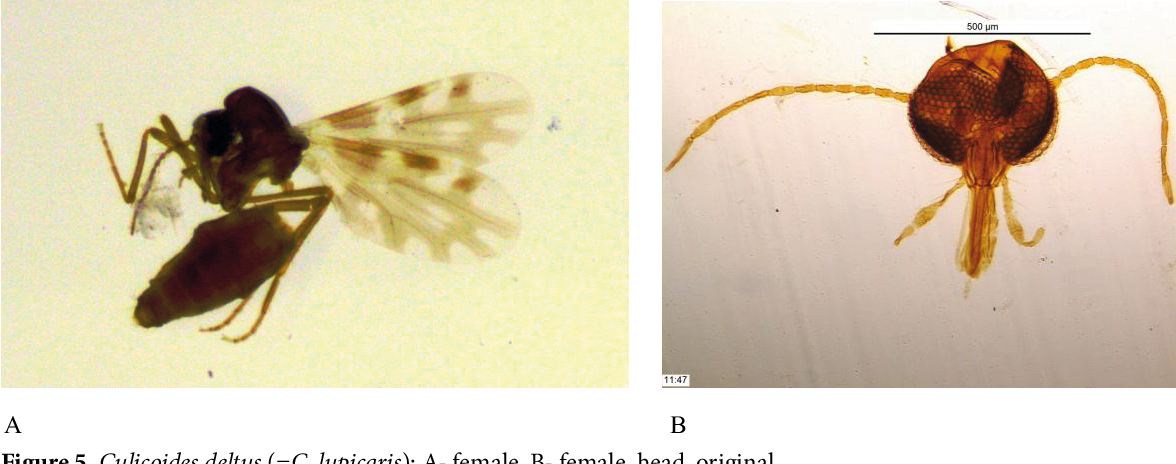 Figure 5 from Culicoides Latreille, 1809 (Diptera
