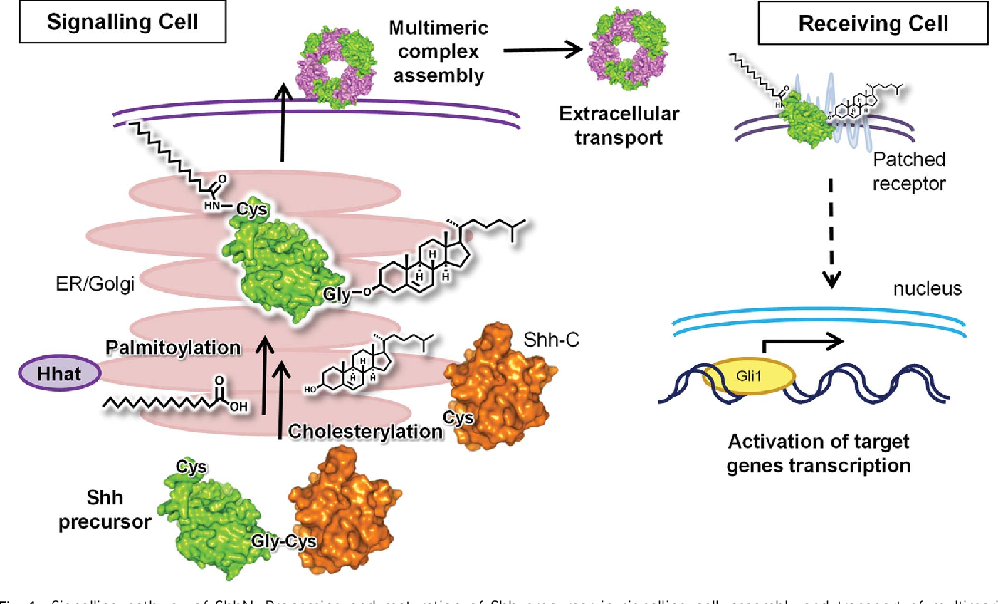 Obes Targeting Cholesterylation Of Sonic Hedgehog In Human Cells And Zebra Fi Sh Semantic Scholar