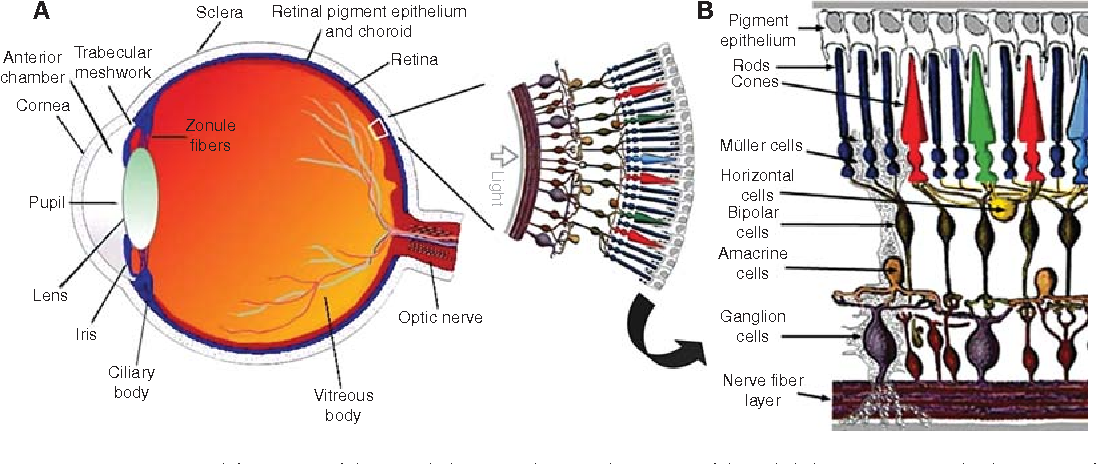 Figure 1. Structure and function of the eye. (A) Vertical sagittal section of the adult human eye, and schematic of human peripheral retina (Panel adapted from Webvision and reprinted with permission from webvision@hsc. utah.edu # 2011.) (B) Schematic enlargement of retinal cells. (Panel adapted from Roy et al. [2010] and reprinted, with permission, from Mary Ann Liebert, Inc. # 2010.)