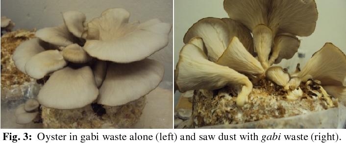 Figure 3 from Optimization of oyster (Pleurotus ostreatus