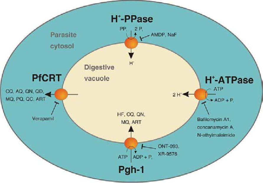 Figure 5 from The malaria digestive vacuole  - Semantic Scholar