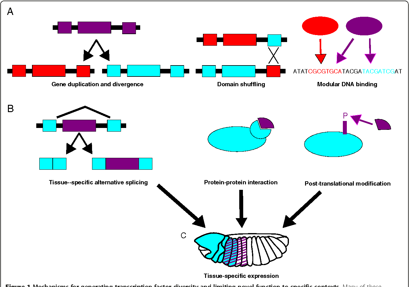 Figure 1 from Evolution of transcription factor function as
