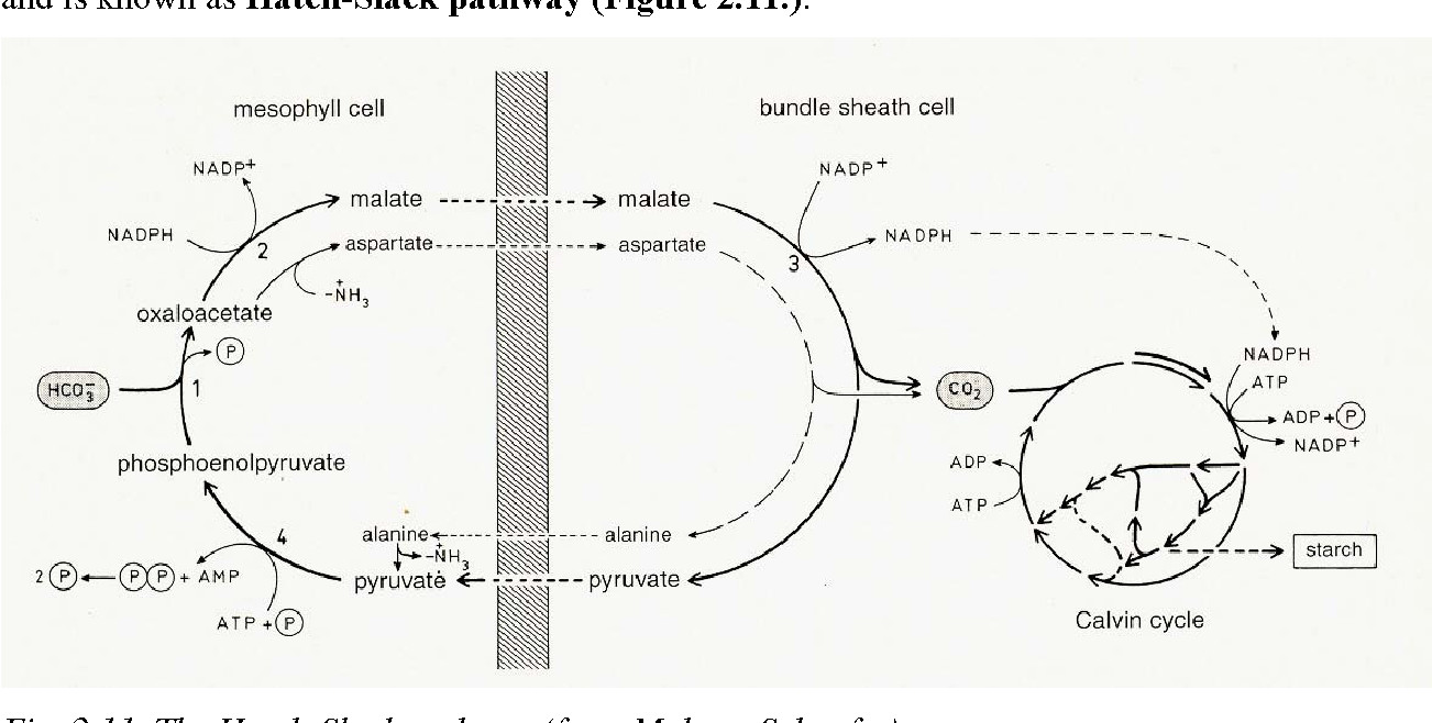 Figure 2 11 from 2   PHOTOSYNTHESIS : THE LIGHT REACTION AND
