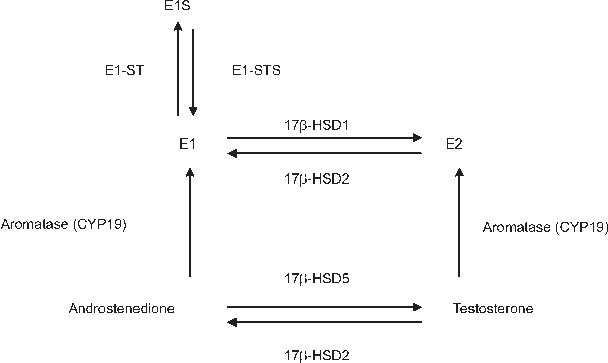 Testosteron aromatase