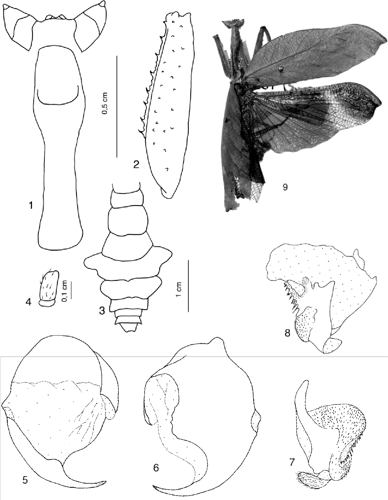 Figs 1-9. Acanthops septemfasciata n.sp.: 1. head and pronotum; 2. anterior femur; 3. abdomen; 4. last segment of cercus. 5-8. External male genitalia: 5-6 ventral phallomere in dorsal and ventral view; 7-8 left phallomere in dorsal and ventral view. 9. Habitus.