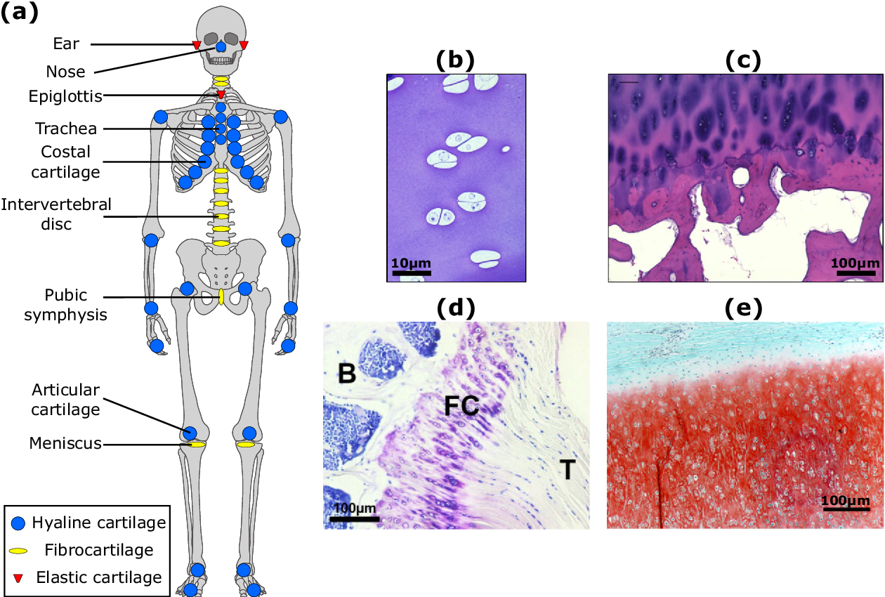 Figure 1 From Cartilage Diseases Semantic Scholar