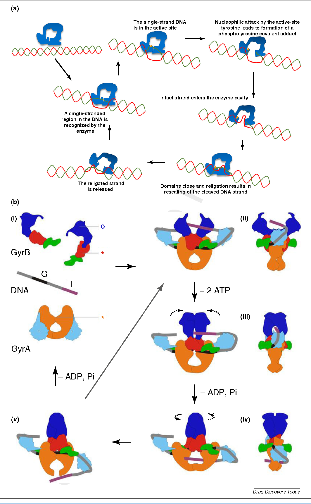 Dna Topoisomerase I And Dna Gyrase As Targets For Tb Therapy Semantic Scholar View dna gyrase research papers on academia.edu for free. dna topoisomerase i and dna gyrase as