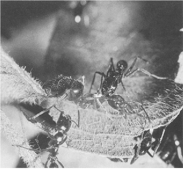 Figure 3 from A South East Asian ponerine ant of the genus