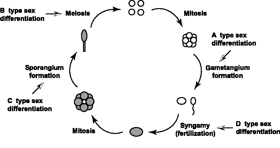 Figure 3 from Evolution of the life cycle in land plants ... on