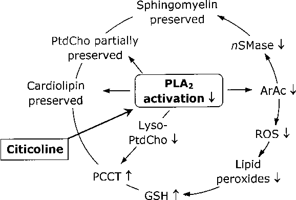 PDF] Citicoline: neuroprotective mechanisms in cerebral