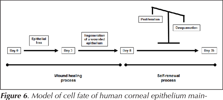 Figure 6 from Epithelial Desquamation , Regeneration and