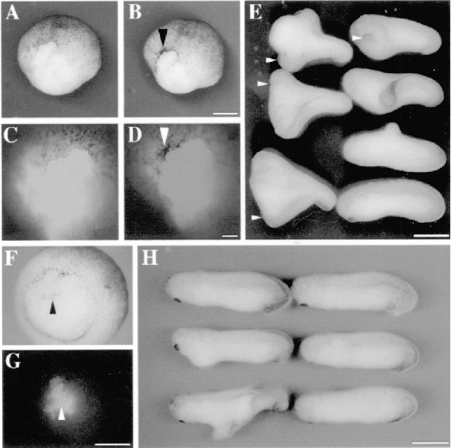 Fig. 3. Secondary axis formation and precocious secondary blastopore formation in the D1-transplanted embryos. (A±D) Precocious secondary blastopore formation. Two Neutral red-stained D1 cells were transplanted into the D4 position of a recipient at the late 32-cell stage. (A) Ventrovegetal view of a recipient at 1 h before the onset of the gastrulation. (B) The same embryo slightly after the onset of the gastrulation. The blastopore formed just above the recipient/transplant boundary. The equatorial region situated laterally next to the D1 descendants did not form a blastopore at this time. (C,D) Fluorescent view of A and B. Note that bottle cells are mainly derived from the unlabeled cells of a recipient. The arrowheads in B and D indicate the secondary blastopore lip. (E) Secondary axis formation in the D1-transplanted embryos. Six D1-transplanted embryos at control stage 25 with a control embryo (bottom right) are shown. The arrowheads show the cement glands of secondary axis. (F±H) `Inverted' D1 transplantation. One Neutral red-stained D1 cell was transplanted into the D4 position in an upside-down orientation. (F) Observation of bottle cell formation at stage 11, vegetal view. (G) Fluorescent view of F. The arrowheads in F and G indicate the same point, the vegetal blastopore lip-like structure. Note that bottle cells are derived from the labeled cells at the vegetal pole of the recipient. (H) Five recipients at stage 26 with a control embryo, as shown on the bottom right-hand side. Bar in B (for A,B): 500 mm. Bar in D (for C,D): 100 mm. Bar in G (for F,G): 500 mm. Bar in E,H: 1 mm.