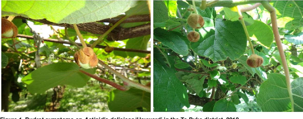 PDF] Budrot in 'green' kiwifruit (Actinidia sp ) varieties